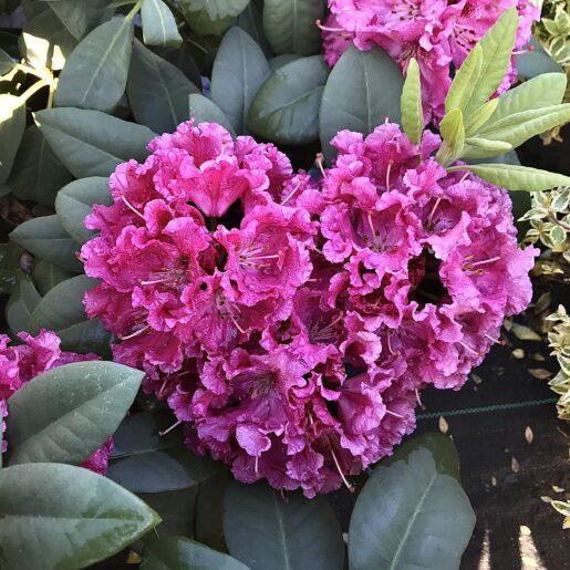 ContainerPlants_Bessie Howell Rhododendren