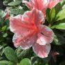 Container_Plants_Autumn_Chiffon_Azalea